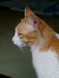 Сторона ` s кота Стоковые Фотографии RF
