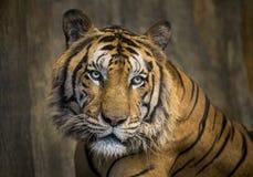 стороны азиатских тигров стоковое изображение rf