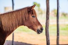 Лошадь Брайна женская Стоковая Фотография