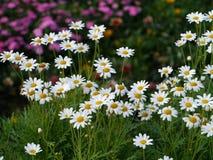 Стоцветы в природе Стоковое Изображение