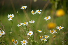 стоцветы закрывают вверх Стоковая Фотография RF