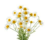 Стоцветы изолированные на белой предпосылке вырез стоковое фото rf