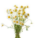 Стоцветы изолированные на белой предпосылке вырез стоковые фото