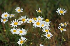 Стоцветы маргариток лета blossoming на луге Селективный фокус Стоковые Изображения RF