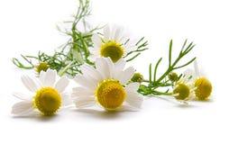 стоцветы над белизной Стоковое Фото