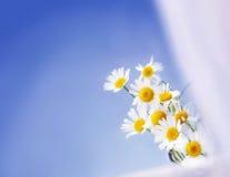 Стоцветы на голубой предпосылке Стоковая Фотография RF