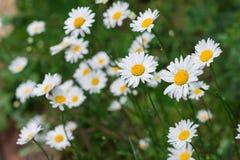 Стоцветы на зеленой предпосылке Стоковое фото RF