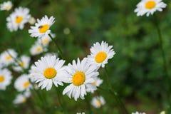 Стоцветы на зеленой предпосылке Стоковая Фотография RF