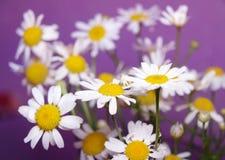 Стоцветы на фиолете Стоковое Фото