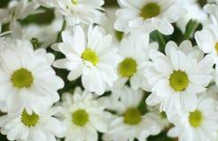 стоцветы пука Стоковое Изображение RF