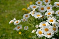 стоцветы Стоковые Фотографии RF
