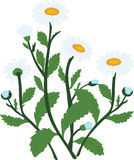 Стоцвет белой маргаритки цветет иллюстрация, Стоковое Изображение