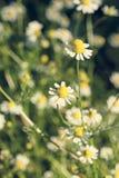 Стоцвет в поле Стоковое Фото