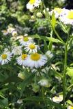 Стоцвет в поле Стоковая Фотография
