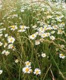 Стоцвет в поле на летний день Стоковые Изображения RF