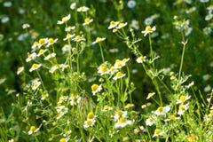 Стоцвет в поле Стоковая Фотография RF