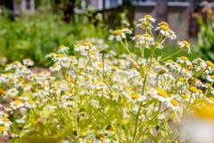 Стоцвет в саде в лете стоковые фото