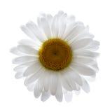 стоцвет изолировал Стоковые Фото