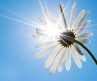 Стоцвет и солнце Стоковая Фотография RF