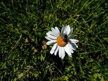 Стоцвет, лето, насекомое, цветок, маргаритка, поле стоковое фото rf