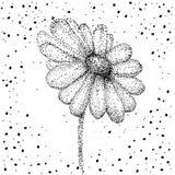 Стоцвет, нарисованная рука цветка стоцвета флористическая гравирующ иллюстрацию вектора Белый цветок на белизне иллюстрация вектора
