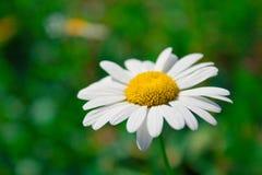 стоцвет одичалый Стоковые Изображения RF