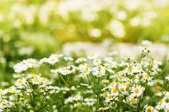 стоцвет одичалый Стоковые Фото