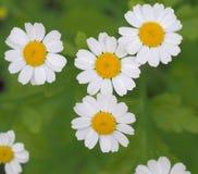 стоцвет одичалый Стоковая Фотография RF