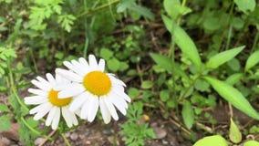 Стоцвет растет на фоне зеленой травы Белые wildflowers видеоматериал
