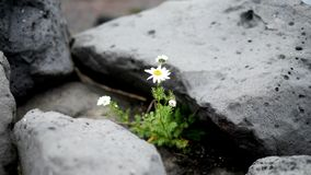 Стоцвет среди камней стоковые фотографии rf