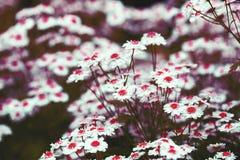 Стоцвет с красным диском и белыми лепестками Стоковые Изображения