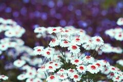 Стоцвет с красным диском и белыми лепестками Стоковые Изображения RF