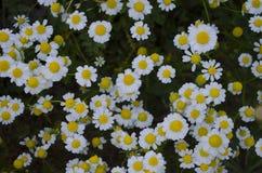 Стоцвет (трава) Стоковое Изображение
