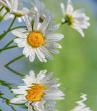 Стоцвет цветет против голубого неба отраженного в воде Стоковые Фото