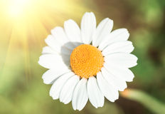 Стоцвет цветка поля, крупный план против предпосылки голубые облака field wispy неба природы зеленого цвета травы белое Стоковая Фотография
