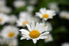 стоцвет Стоковое Изображение RF