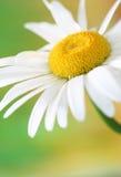 стоцвет Стоковая Фотография