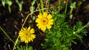 Стоцвет Oxeye, золотая маргаритка или tinctoria Cota макрос цветков с предпосылкой bokeh, выборочным фокусом, мелким DOF стоковая фотография rf