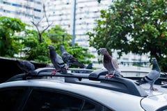 Стоять голубей Стоковые Изображения RF