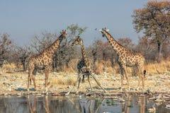 Стоять 3 жирафов Стоковое фото RF