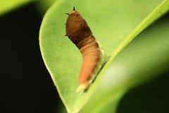 Стоять листьев гусеницы Стоковая Фотография