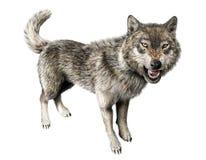 Стоять рычать волка на белой предпосылке. Стоковые Фотографии RF