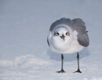 стоять чайки смеясь над Стоковая Фотография
