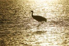 стоячая вода sandhill крана Стоковая Фотография RF