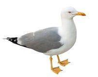 Стоящая чайка, изолированная на белизне Стоковое фото RF