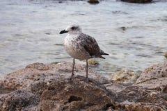 Стоящая чайка моря Стоковые Фото