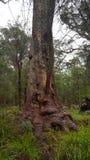 СТОЯЩЕЕ ОДНО - запад Forrest южный Стоковая Фотография RF