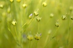 Стоящие цветки льна в поле На зеленом цвете запачканная предпосылка стоковое фото