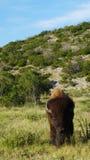 Стоящий бизон Стоковые Фото