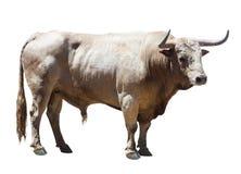 Стоящий взрослый бык Стоковое Изображение